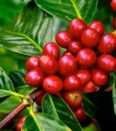 Niugini Arabica Coffee to buy!